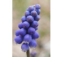 Macro - Grape Hyacinth Photographic Print
