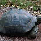 Curious Giant Galapagos Tortoise by Catherine Sherman