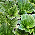 Macquarie Island Cabbage by Carole-Anne