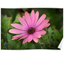 Pink African Daisy flower Poster