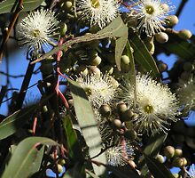lemon scented eucalypt flowers by Christopher Biggs
