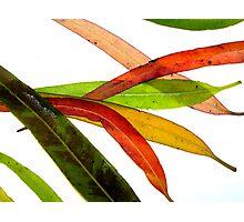 lemon scented eucalypt leaves Photographic Print