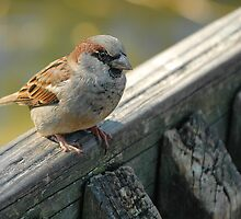 Brown sparrow by Antoine de Paauw