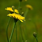 Line of  Yellow  Dandelions by georgiaart1974