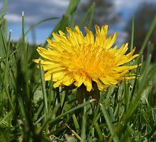 Springtime Dandelion by Shadowfudo