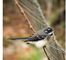 Grey Fantail on a fence by barrycallister