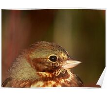 Fox Sparrow in the Spring Poster