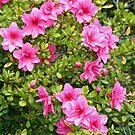"""""""Pink Azaleas"""" by Lynn Bawden"""