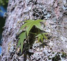Big maple tree trunk with lichen and young spring green leaves. by naturematters