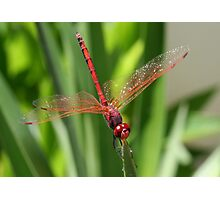 Red Skimmer or Firecracker Dragonfly Closeup Photographic Print