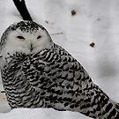 Female Snowy Owl.. by Larry Trupp