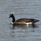 Canada Goose on the Lake by janetmarston