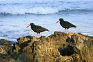 Sooty Oystercatchers by Trish Meyer