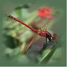 Red Male Skimmer or Firecracker Dragonfly by taiche
