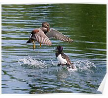 Gadwall V's Tufted Duck Poster