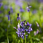 Bluebells (Hyacinthoides non-scripta) by Steve Chilton