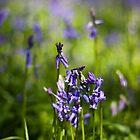 Bluebells (Hyacinthoides non-scripta) by Steve Chilton
