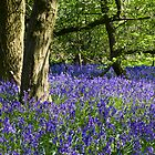 Bluebell Wood (Hyacinthoides non-scripta) by Steve Chilton