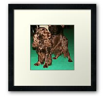 Young Sussex Spaniel Framed Print