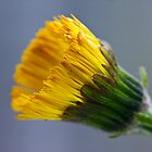 Colt's-foot (Tussilago farfara) by Steve Chilton