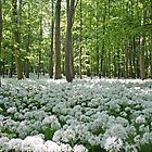 Ramsons in the shady forest by Trine
