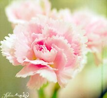 Carnation for the world greatest Mummy... by sylvia128