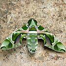 Moth by AravindTeki