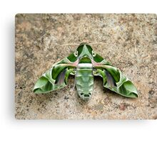 Moth Canvas Print