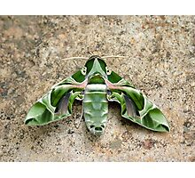 Moth Photographic Print