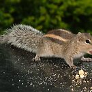 Squirrel by AravindTeki