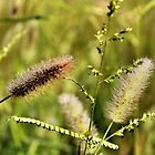 Glistening Grasses by debidabble