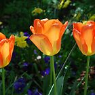 Tulip Trio by Carol Clifford