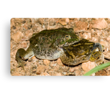 It's a dog-eat-dog.... sorry, frog-eat-frog world out there Canvas Print