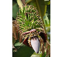 Bananas Flower Photographic Print