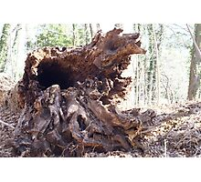 Old growth tree, down Photographic Print