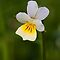 Field Pansy (Viola arvensis) by Steve Chilton