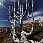 Long Gone Pencil Pines by Robert Mullner