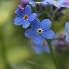 Blue wild flowers by Antanas
