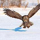 Great Grey Owl  - Incoming by Jim Cumming