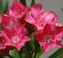Red Oleander  by LisaWilliams