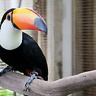 Toucan  by Cathy Immordino