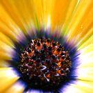 A Stunning Daisy by Vanessa Barklay