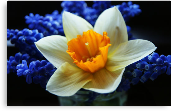 Daffodil on blue by George Parapadakis (monocotylidono)