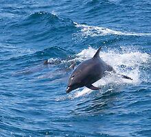 Short-beaked Common Dolphin by Simon Coates