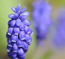 Grape hyacinth by Heather Thorsen