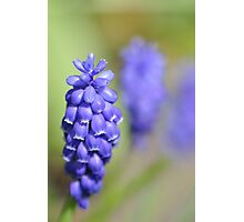 Grape hyacinth Photographic Print
