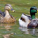 Mr and Mrs Mallard by imagetj