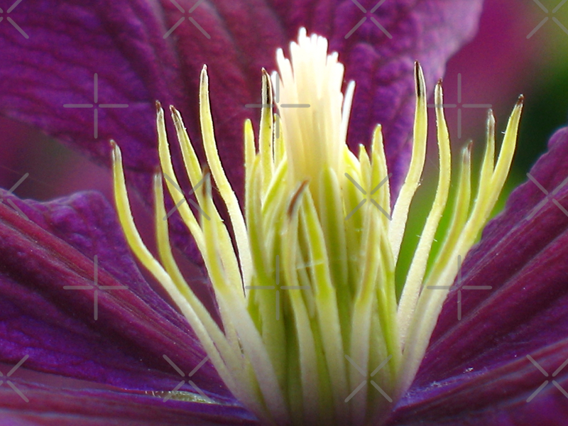 Clematis © by JUSTART