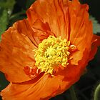 Orange poppy by CanDuCreations