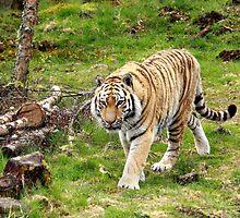 Amur Tiger by Stormbringer